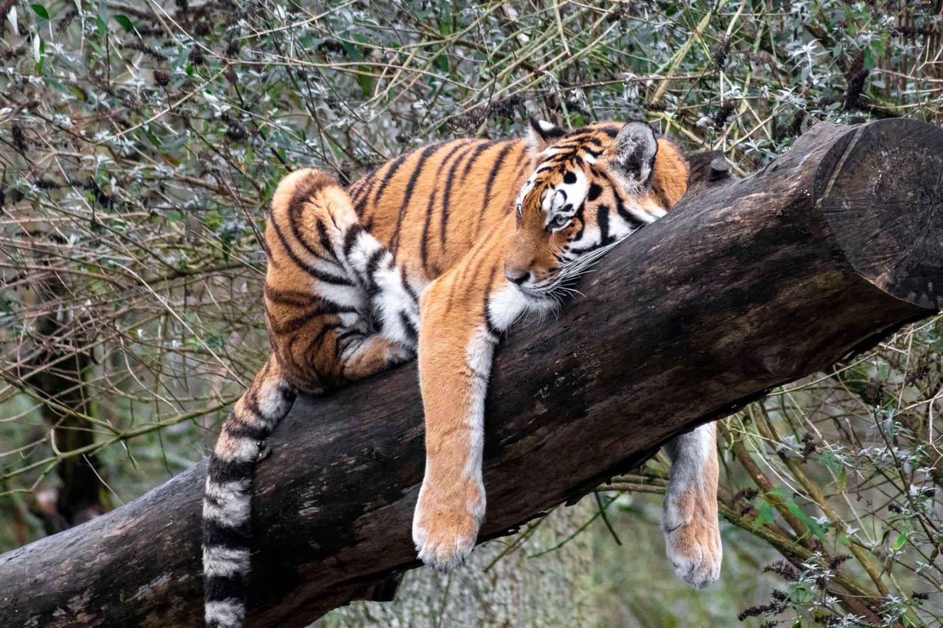 tiger-lying-down-on-tree-log-at-longleat-safari-park