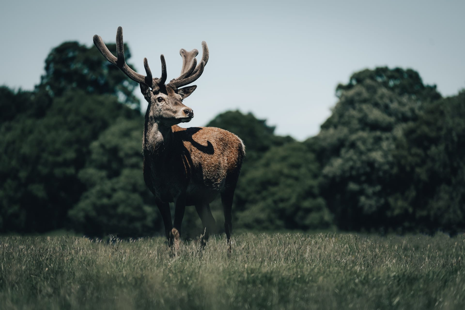 brown-deer-on-green-grass-field-at-dusk-at-wollaton-hall-and-park-nottingham