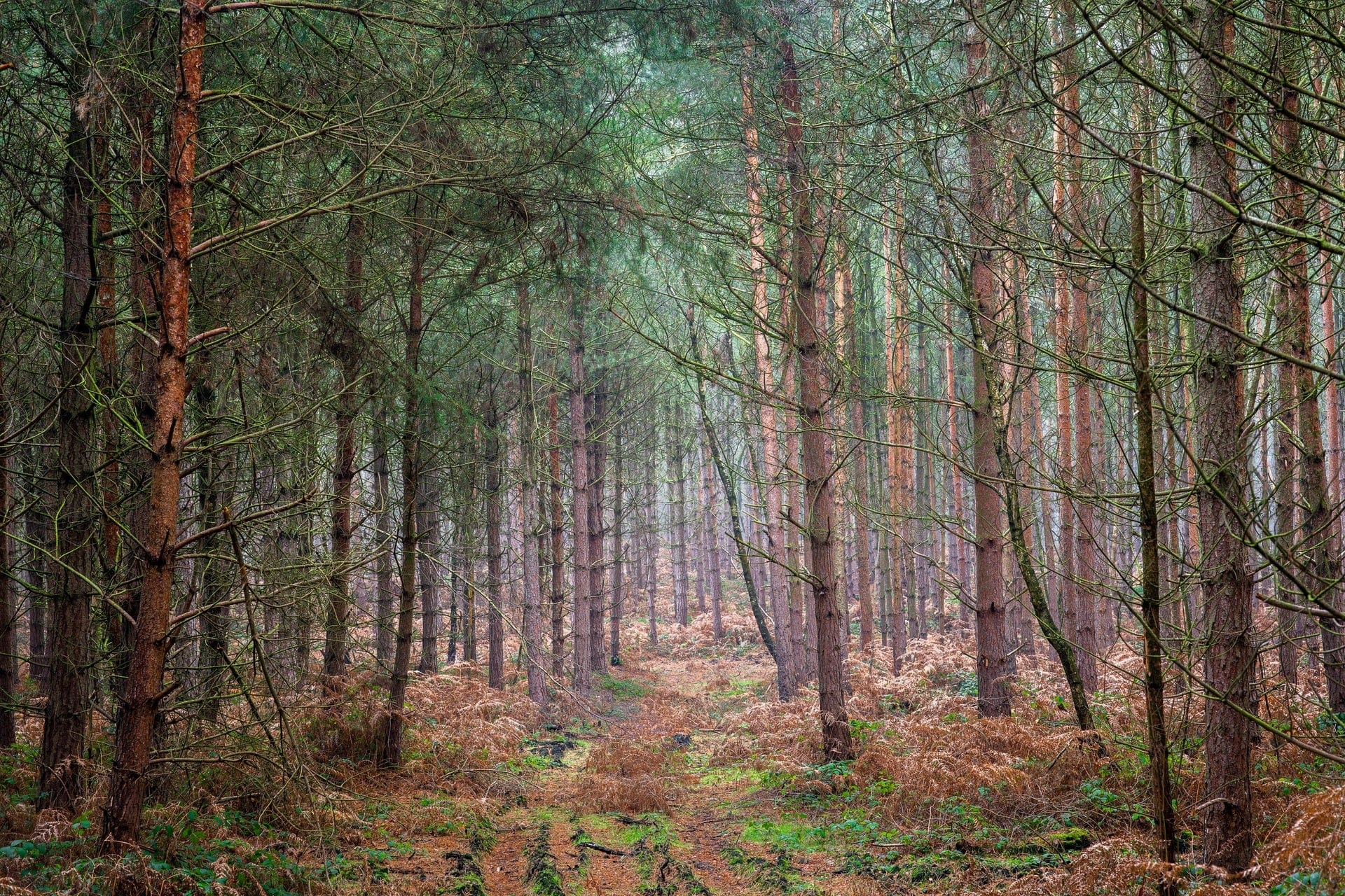 forest-path-leading-through-pine-trees-sherwood-forest-nottingham